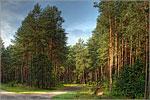 The Buzuluk pine wood. Открыть в новом окне [93Kb]