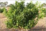 Апельсиновая плантация. Открыть в новом окне [69,9Kb]