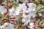 Сакура в ботаническом саду ОГУ. Открыть в новом окне [169Kb]