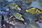 Разработка технологии использования наноматериалов в аквакультуре. Открыть в новом окне [128Kb]