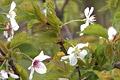 В Ботаническом саду ОГУ распустилась сакура